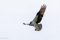 Osprey (mayekarulhas) Tags: philadelphia pennsylvania unitedstates us osprey bird avian raptors canon canon500mm canon1dxmark2 johnheinznaturereserve