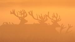 Stags and birds (Hammerchewer) Tags: reddeer deer stags animal wildlife outdoor sunrise mist