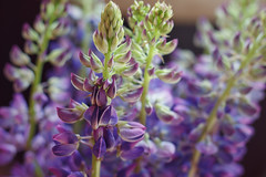 Lupine (AllaTabashnikova) Tags: lupine floral blossom bouquet violet