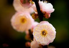 Prunus Mume 梅花 (eggwah123) Tags: olympus olympusem1 em1 mzuiko mzuiko60mmf28 60mmf28 mzuiko60mmf28macro omd omdem1 lightroom macro macrolens prunusmume prunus bokeh depthoffield dof flower floweringapricot flowerbuds bloom blossom macroflowerlovers macrolovers primelens microfourthirds micro43 m43