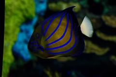 glow... (R.A. Killmer) Tags: ripleys aquarium toronto canada ontario glow fish beauty dark light blue stripes fins gills