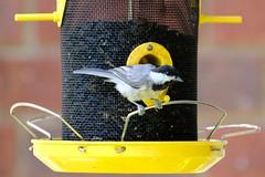 Carolina Chickadee 7.14.18 (Gene Ellison) Tags: bird carolinachickadee feeder sunflowerseeds bricks