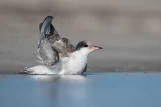 Common Tern (Juvenile)