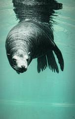 (m r z l t n) Tags: zoo animal animals wild wildlife budapest hungary seal swim swimming water underwater nature natural