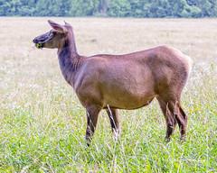 Elk 28 (augphoto) Tags: augphotoimagery cervuselaphus elk animal mammal nature outdoors wildlife cherokee northcarolina unitedstates