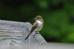 Eastern Phoebe (Jan Nagalski (off for awhile)) Tags: bird nature wildlife easternphoebe hartwickpines michigan jannagalski jannagal 178
