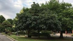Red Horse Chestnut (Aesculus x carnea) - tree - July 2018 (Exeter Trees UK) Tags: red horse chestnut aesculus x carnea tree july 2018