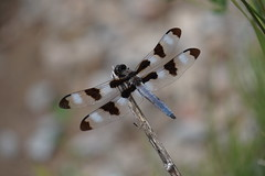 Male twelve-spotted skimmer (Toats Master) Tags: dragonfly nature wings skimmer flight insect