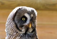 Chouette lapone (fauneetnature) Tags: chouette chouettelapone domainedesfauves isère ornithology ornithologie oiseau bird faune nature