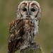 Tawny Owl (MOZBOZ1) Tags: juvenile northumberland tawnyowl gosforth strixaluco tawny
