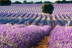 Campos de Lavanda (garciajl3) Tags: lavanda lavender camp fields morado purple brihuega arbol tree espliego españa spain guadalajara
