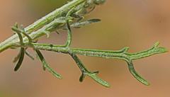CAE016436a (jerryoldenettel) Tags: 180717 2018 asteraceae asterales asterids belen fineleafwoollywhite hymenopappus hymenopappusfilifolius nm valenciaco wildflower woollywhite flower