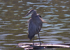 IMG_1116 (aschroeder79) Tags: greatblueheron heron bird wildlife