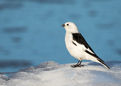_V6A3730 (Tom Wilberding) Tags: 44emberizinesparrowsandtheirallies animals birds snowbunting