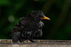Someone's ruffled his feathers and he doesn't look too pleased about it! (Hoppy1951) Tags: gilwern monmouthshire wales gbr allanhopkins hoppy1951 uk mygarden blackbird turdusmerula commonblackbird eurasianblackbird moulting