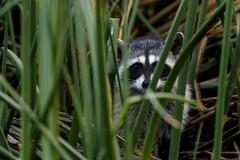 Raccoon (Trent Bell) Tags: bonelliregionalpark sandimas california bonellipark socal 2018 raccoon