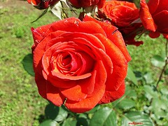 amazing (archgionni) Tags: grass garden fiori flowers rose roses petali petals foglie leaves verde green rosso red
