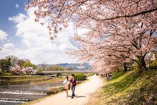 sakura '18 - cherry blossoms #9 (Kamigamo, Kyoto)
