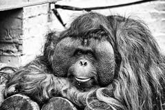 "Orangutan Pose (itsbradders) Tags: canon brad colbourne ""brad colbourne"" eos 7d mk ii ""canon ii"" animal beautiful amazing nice wild wilderness wildlife nature vibrant catchy black white ""black white"" bw blackandwhite monochrome outdoor depth field dudley zoo ""dudley zoo"" orangutan pose"