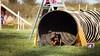 Big tunnel (zola.kovacsh) Tags: outdoor animal pet dog agility szeged miniature pinscher grass garden
