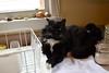 Batman (2 of 4) (rootcrop54) Tags: batman tuxedo male cat polydactyl extratoes dishdrainer white whiskers neko macska kedi 猫 kočka kissa γάτα köttur kucing gatto 고양이 kaķis katė katt katze katzen kot кошка mačka gatos maček kitteh chat ネコ