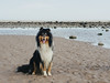 Leon at the Beach Again (kirstybroon) Tags: leon rough collie puppy beach sea ocean river tay dundee fun sun sand