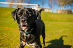 DSC_0046 (Daniel Maclachlan) Tags: labrador crossbreed ball play grass footbal pitch black dog collie