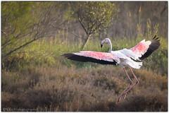 flamant rose (usulebis) Tags: oiseau flamantrose animalier 150600 sigma d810
