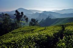 Cameron Highlands - Boh Tea Plantation 21 (luco*) Tags: malaisie cameron highlands boh tea plantation thé mountains hills collines arbres trees malaysia landscape flickraward flickraward5