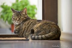 My Little Tiger (Nicholas Ferrary) Tags: nicholasferrary nature nikon nikond800e nikond810 nikon200400mmvr 200400mm vr2 nikon200400vr2 cats cat pets