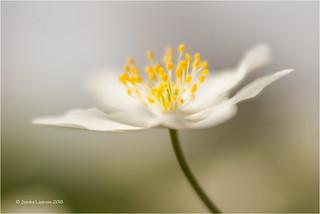 Velvety Windflower