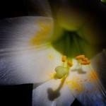 Toronto Ontario - Canada - Allan Gardens Conservatory - Toronto Tropical Garden -  White Lily Macro thumbnail