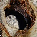 Owlet-nightjar Australian, in nesting hollow. thumbnail