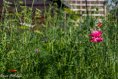 My Wild Flower Patch. (Meon Valley Photos.) Tags: my wild flower patch ngc poppy