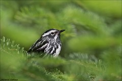 Black-and-white Warbler in Spruce (Daniel Cadieux) Tags: warbler blackandwhitewarbler male spruce forest evergreen trees