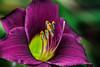 Day Lily Macro. (Omygodtom) Tags: lily flower tamron90mm macro dof bokeh daylily outside d7100 digital detail diamond abstract natural nikon