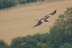 Red Kite (Sky Kite) Tags: milvusmilvus beaconhill burghclere highclere hampshire england