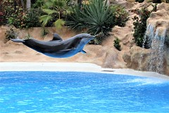 Flight of the dolphin (Paul Wrights Reserved) Tags: dolphin dolphins flying fly flight flipper flip water waterwings splash waterfall action actionphotography zoo fish mammal mammals