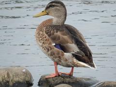 Mallard, Fleetwood (deltrems) Tags: mallard bird duck fleetwood marsh conservation area lancashire fylde coast drake