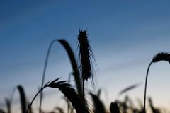 When the sun goes down and the shadows grow... (Rod Elbahn) Tags: getreide himmel makro macro schatten kornfeld