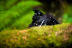 A 'No See'um' Paddy (JJFET) Tags: border collie dog dogs sheepdog herding
