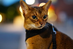 Lizzie in night lights (DizzieMizzieLizzie (Down for a while)) Tags: light bubbles abyssinian aby lizzie dizziemizzielizzie portrait cat feline gato gatto katt katze kot meow pisica sony neko gatos chat a6500 ilce6500 ilce 2018 bokeh hot summer night pet animal zeiss planar t fe 50mm f14 za
