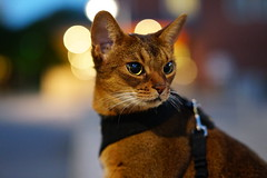 Lizzie in night lights (DizzieMizzieLizzie) Tags: abyssinian aby lizzie dizziemizzielizzie portrait cat feline gato gatto katt katze kot meow pisica sony neko gatos chat a6500 ilce6500 ilce 2018 bokeh hot summer night pet animal zeiss planar t fe 50mm f14 za bubbles light