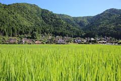 Rice fields and village (Teruhide Tomori) Tags: architecture building house construction tradition wooden japan kyoto countryside miyama 風景 landscape ricefields 水田 稲 summer 夏 美山 京都 日本 伝統家屋 建築 屋根 茅葺き field grass tree mountain 田舎