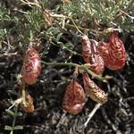 balloon milkvetch, Astragalus whitneyi var. whitneyi thumbnail