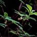 Mock azalea