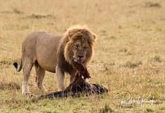Grimace at dinner! (Jambo53 (catching up)) Tags: scarface lion leeuw masaimara kenya eastafrica oostafrica copyrightrobertkok nikond800 sigma50500 mammal roofdier predator