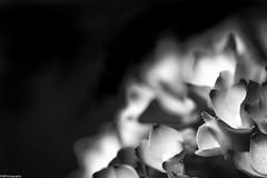 Hydrangea, blossom (fhenkemeyer) Tags: niksilverefexpro2 canoneos70d abstract nature macro bw blossom hydrangea