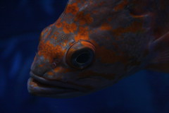 Vermilion Rockfish/Sébaste vermillon (Sebastes miniatus) (Andrew-1 (Thanks for 9000+ Favourites!)) Tags: fish poisson animal life living alive live vie vida vivant nature water aquarium freshwater orange closeup