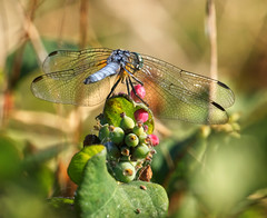Blue Dasher on plant (piranhabros) Tags: bluedasher animal plant insect insectmacro dragonfly odonata